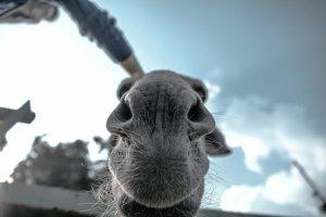 ラクダの鼻